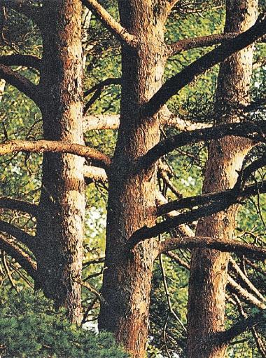 Смола - продукт хвойных деревьев.