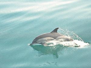 ...конечно же, самые элегантные дельфины Черного моря.
