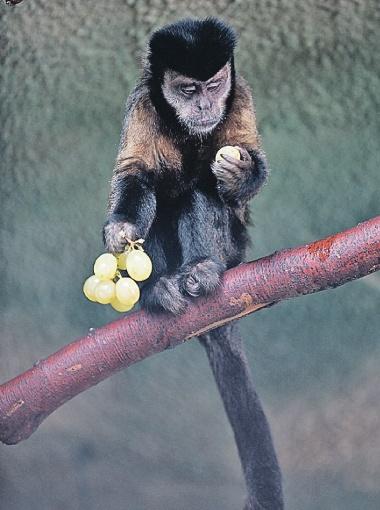 Но поведутся ли на такое обезьяны?