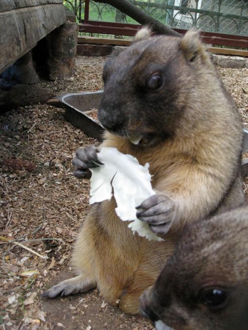 Сурок Миша наедает жирок на зиму. Фото автора.