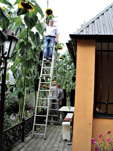 Подсолнух Николая Федорчука перерос и хозяина, и его дом.