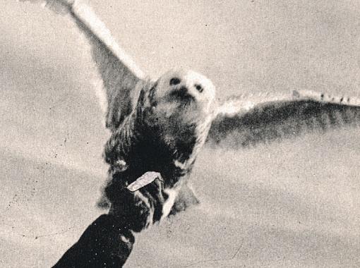 Полярная сова.