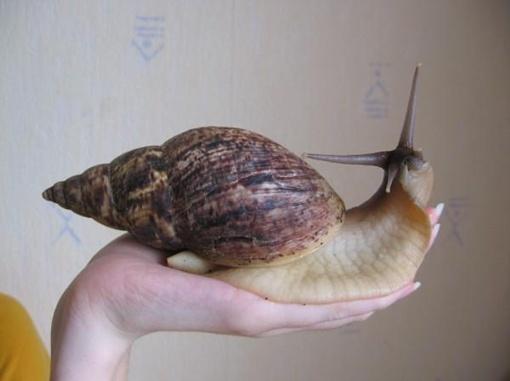 Улитка ахатина - самый крупный вид су- хопутных моллюсков, обитающий в Африке. Длина тела улитки - до 30 см, размер рако- вины - 25 см, вес - до 250 г. Во время опас- ности может прятаться в раковину и пищать.