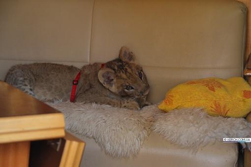 Маленький львенок. Фото с сайта KERCH.COM.UA.