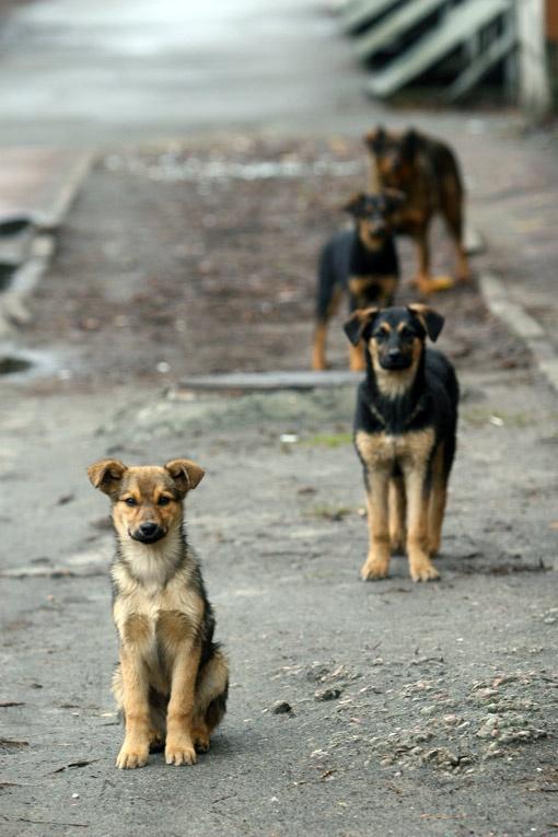 За две недели в столице отравили около сотни бездомных псов.