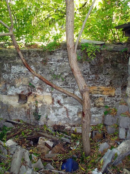 На этом дереве нашли изувеченное тело девушки.