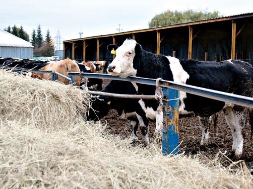 Коровы готовятся к приезду гостей.