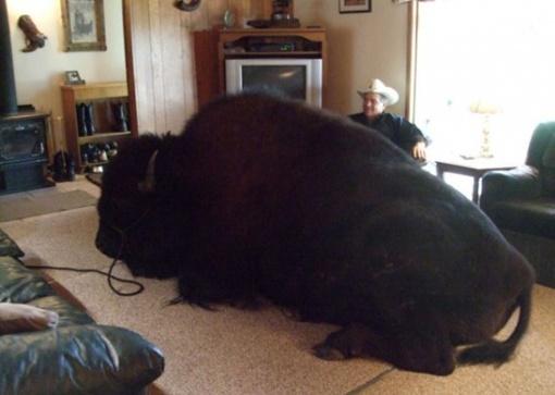 Домашнее животное занимает всю комнату, но хозяин в восторге. Фото: drunov.ru.