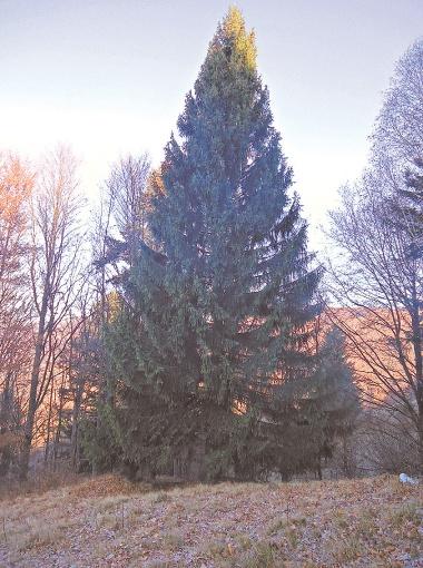 Вывозили елку при помощи вертолета, а срубили ее в несколько этапов: сначала нижние ветви, а потом приступили к стволу.