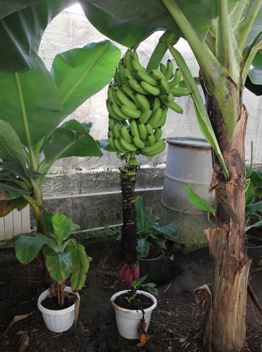 Как сажать банан декоративный 73