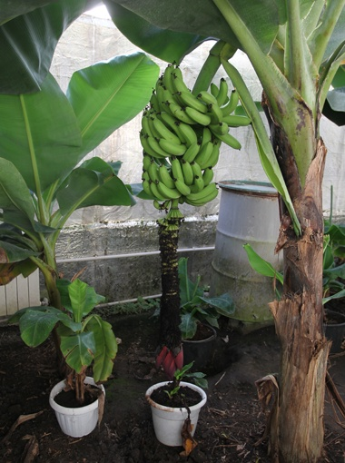 Банан выращивание в домашних условиях 806