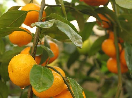 В теплице новатора с Киевщины настоящий рай для цитрусовых.