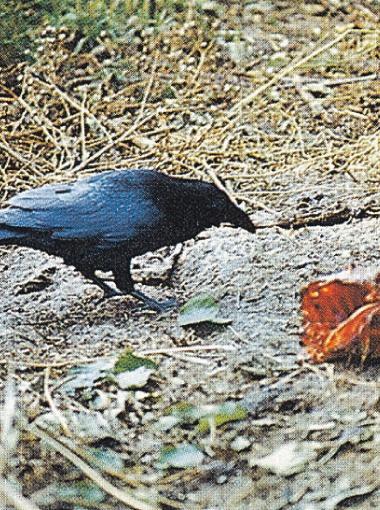 Возле собак часто кормились и вороны.