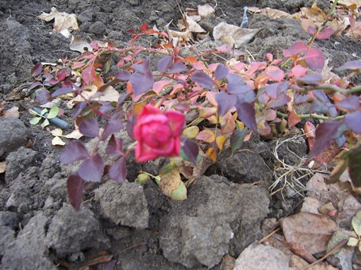 Декабрьская роза. Фото Галины БЛАНУЦЫ, газета
