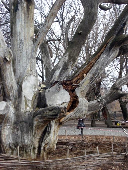 В планах у ученых забальзамировать дуб