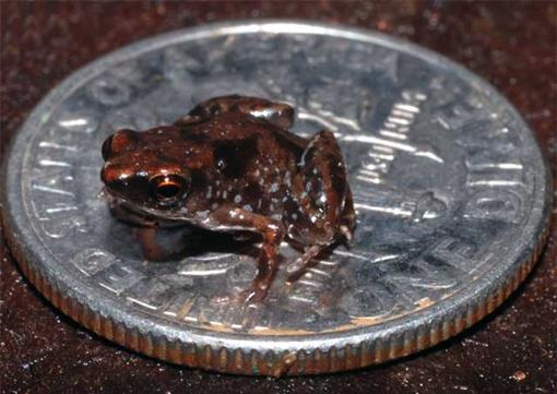 Ну очень маленькая лягушка. Фото: plosone.org
