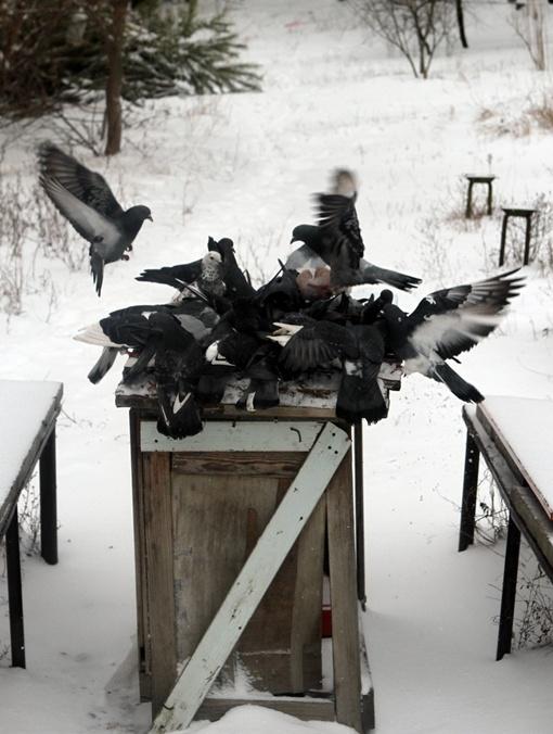 1-В борьбе за корм голуби не церемонятся с соплеменниками