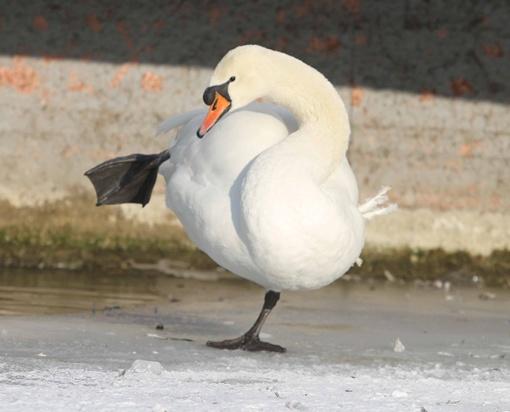Лебединый пух