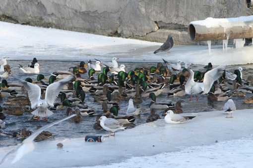 В парке Глобы зимуют сотни птиц
