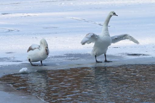Лебеди и в голод-холод остаются царственно спокойными