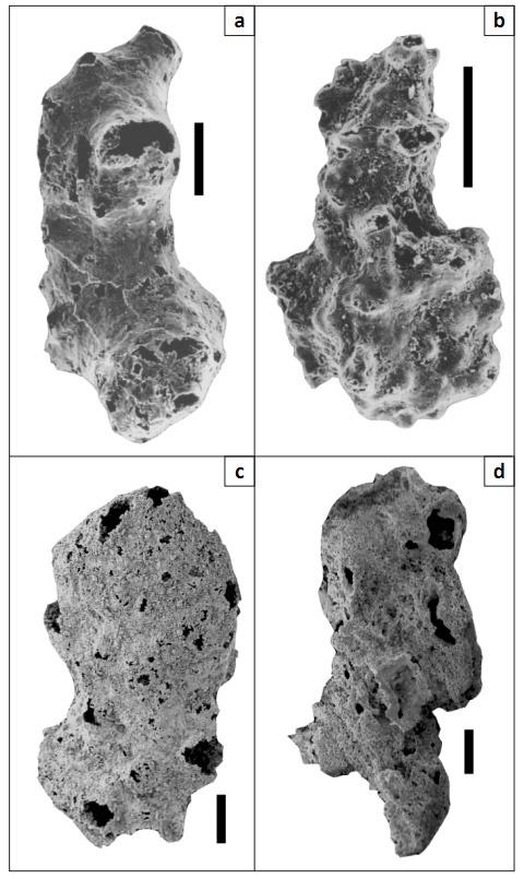 Четыре представителя O. antiqua. Снимки с электронного микроскопа. Все масштабные линейки– 100 мкм. Фото C.K.