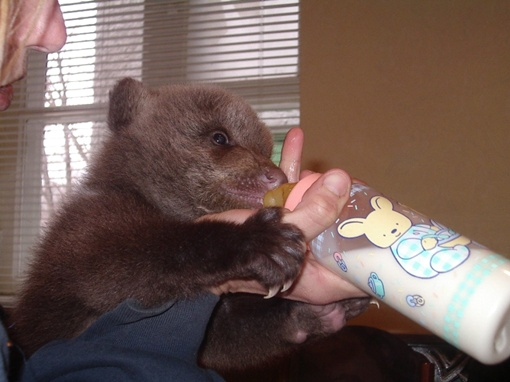 Заботиться о новорожденных медвежатах сотрудникам зооуголка не впервой