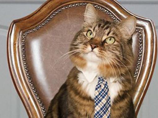В США на выборах в сенат в качестве независимого кандидата выступил кот породы мейн-кун по кличке Хэнк. Фото: hankforsenate.com
