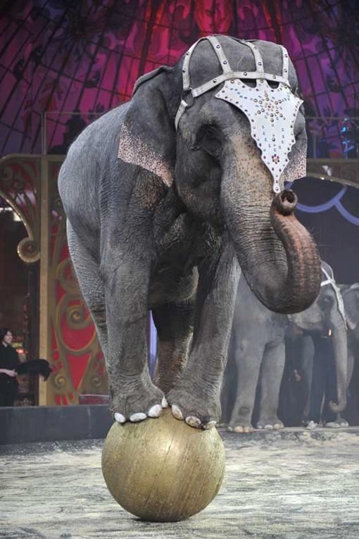 Новый сезон откроют дрессированные слоны. Фото Евгении ГУСЕВОЙ.