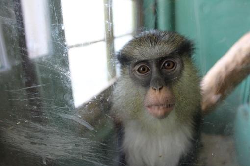 Одинокая обезьянка тянется к посетителям