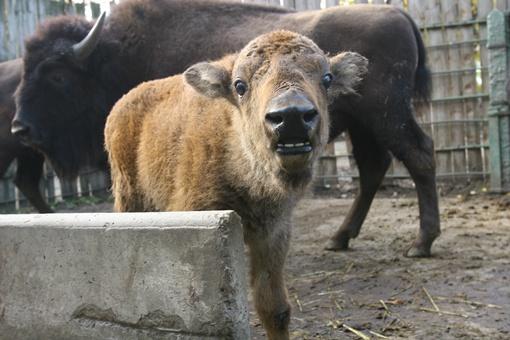 Маленький бизончик - один из тех, кто родился в столичном зоопарке за последний год.