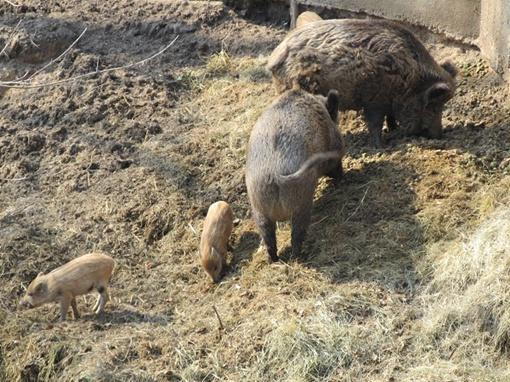 Хрюшки решили опередить всех соседей и привели потомство раньше срока. Фото автора.