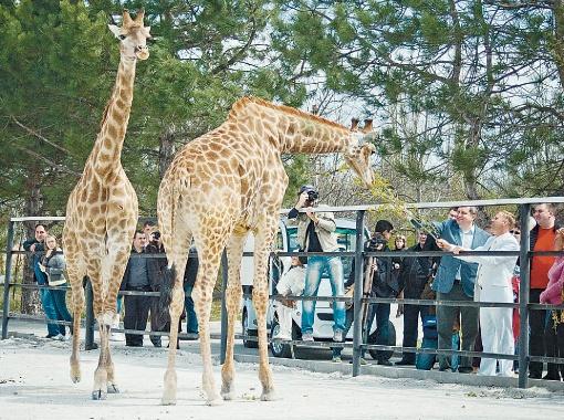 Крымский премьер Анатолий Могилев вместе с директором парка Олегом Зубковым кормят жирафов.