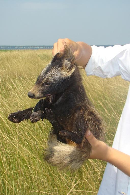 Видят зоологи сходство чупакбры и с волком. Фото предоставлено управлением ветеринарном медицины Михайловского района.