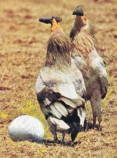 Стервятники готовятся разбить страусиное яйцо камнями.