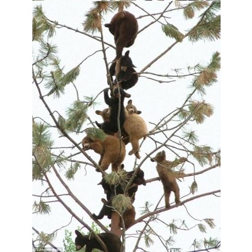 Удивительное собрание молодых медвежат на хрупком на вид дереве. Фото bilozerska.livejournal.com