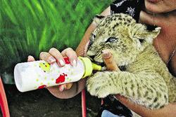 Котенка кормят козьим молоком.