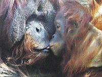 Мы случайно подсмотрели, как целуются обезьяны в Московском зоопарке.