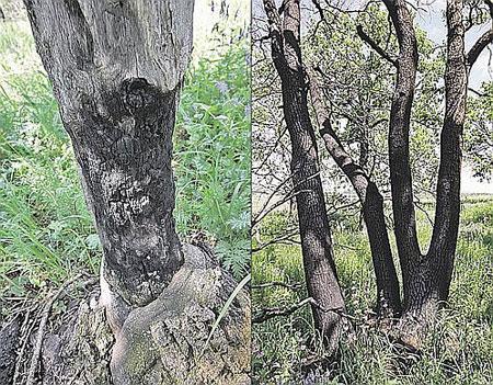Склон бешеных молний: специалисты уверяют, что деревья тут обожжены шаровыми молниями, а не пожаром.