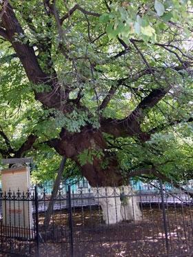 У старого дерева просят материальных благ.