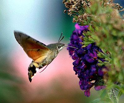 Феей прикинулся гигантский мотылек, похожий на птичку колибри.