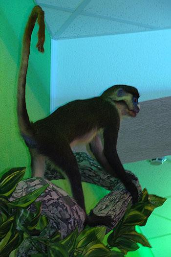 Красноносая обезьяна умерла естественной смертью.