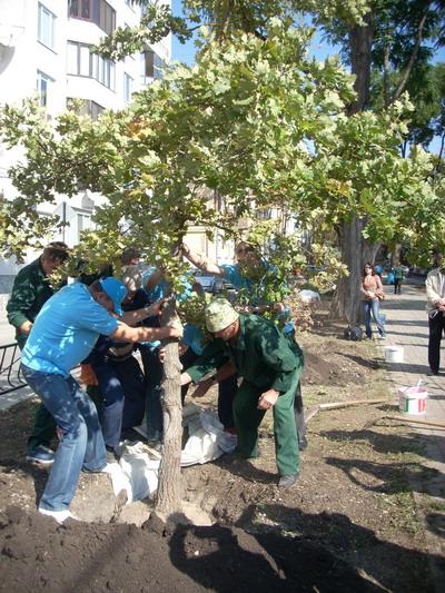 Шестилетние деревья украсили аллею на бульваре Франко в г. Симферополе.