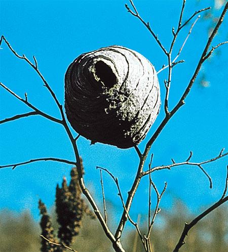 Бумажный «футляр» гнезда.