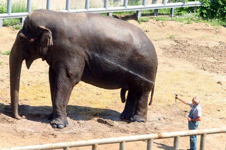 Слон Бой за последний год не только сбросил лишний вес, но и стал подвижнее.