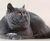 Британская гладкошерстная кошка.