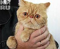 Персидский кот. Фото: Олег УКЛАДОВ.