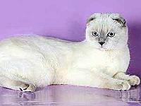 Шотландская короткошерстная кошка.
