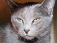 Русская кошка.