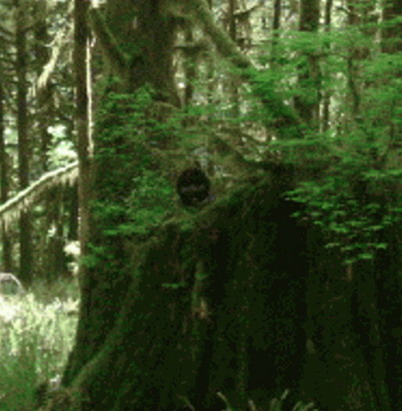 Сасквач высунулся из-за дерева