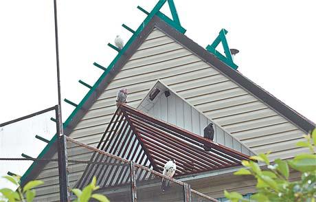 Голуби сиротливо воркуют в специально построенном для них «доме».
